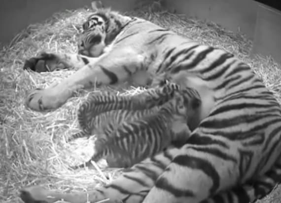 Critically endangered baby tigers snuggle with mom