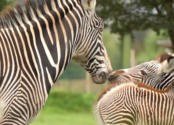 Endangered zebra unexpectedly gives birth