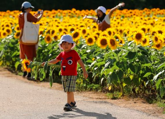 Millions of sunflowers bloom in Japan