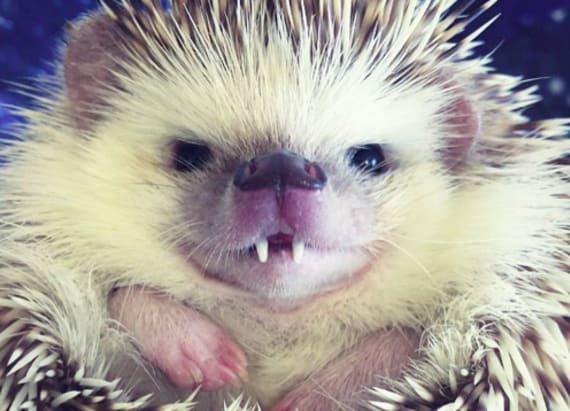Adorable hedgehog smiles his way to viral fame