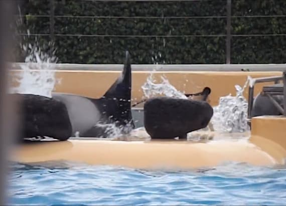 Zoo under fire after video shows orca banging head