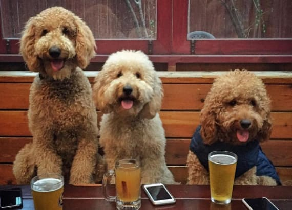 Adorable goldendoodle 'gang' will melt your heart