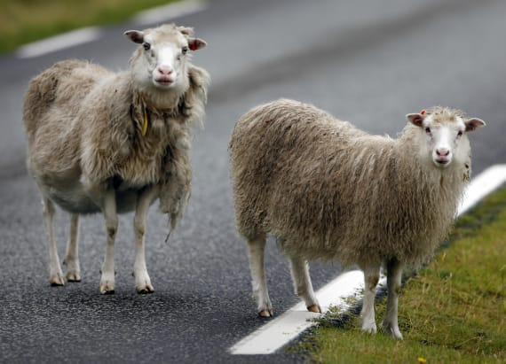 Sheep equipped with cameras roam the Faroe Islands