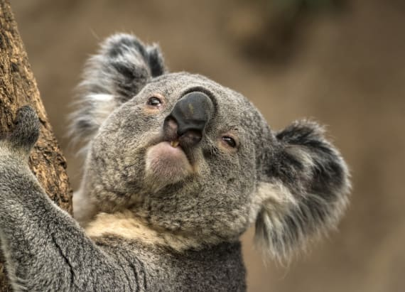 Koala's mating call sounds like your snoring spouse