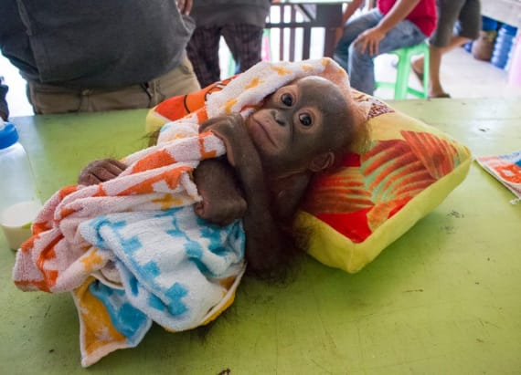 This baby orangutan was shot and abandoned