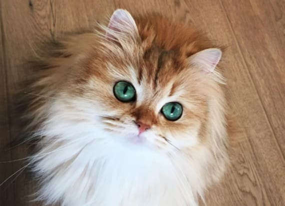 Smoothie the cat is the most gorgeous feline ever