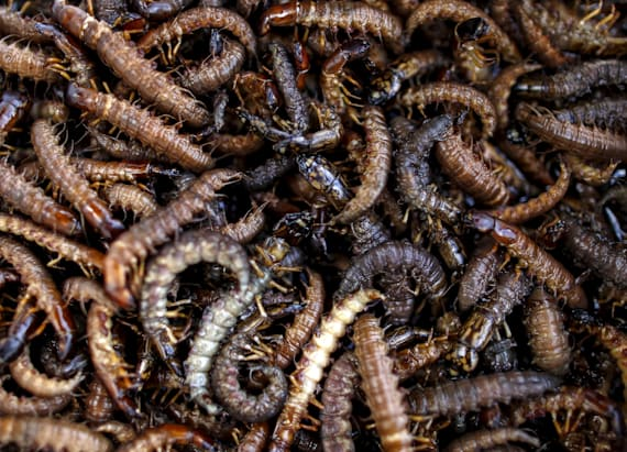 Newly discovered centipede will give you nightmares