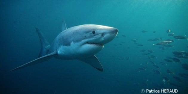 Le requin mythologies d 39 un mangeur d 39 hommes - Dessin de grand requin blanc ...