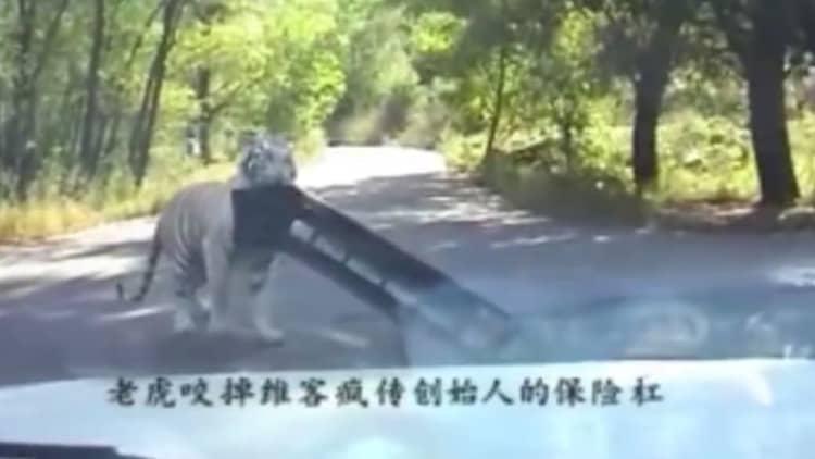 Chinese tiger swipes Jetta's bumper