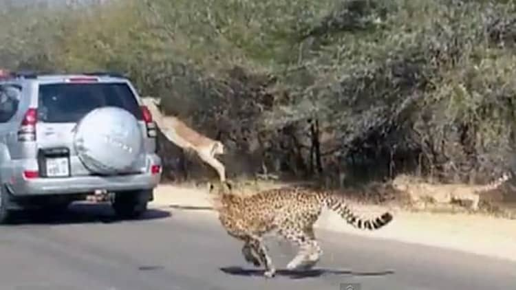 Impala crashes into Land Cruiser... to hide from a cheetah