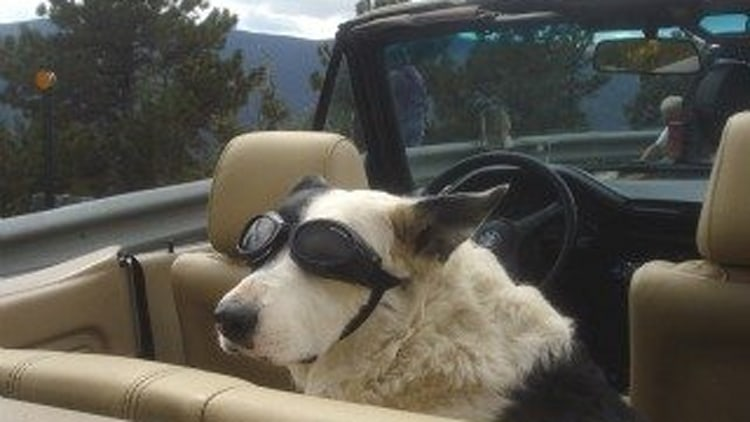 Faux-Paws: The Pooch With An Affinity For The Cabriolet