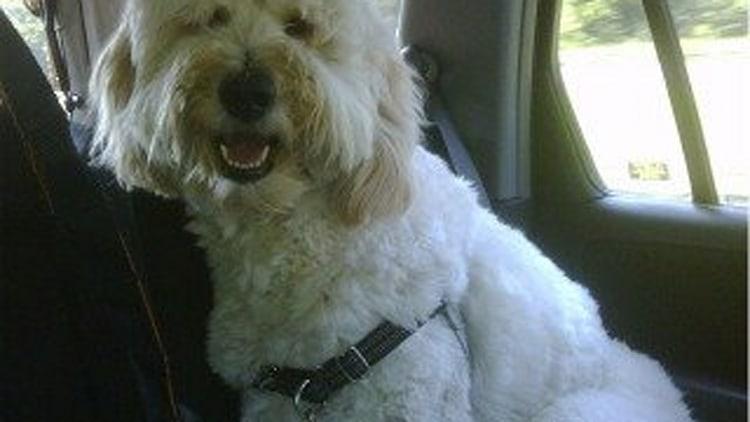 Recommended Product: The Attention Grabbing Goldendoodle in a Bungee Harness
