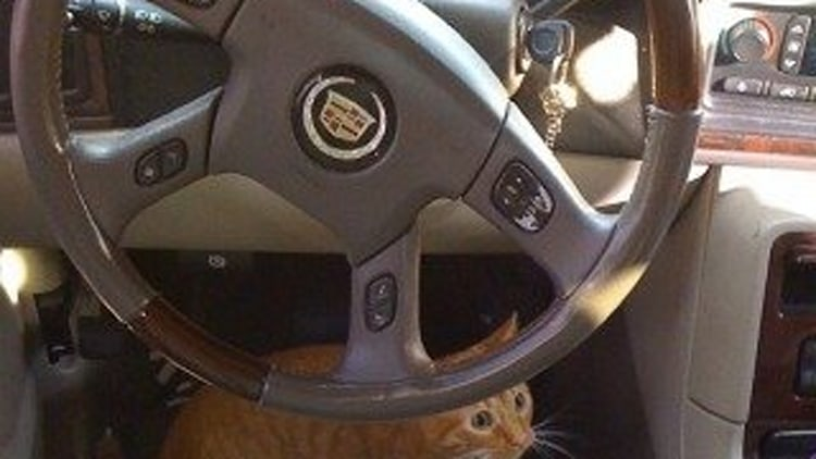Faux-Paws: The Caddy Kitty