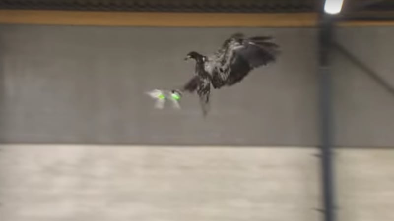 Dutch police are training eagles to murder illegal drones