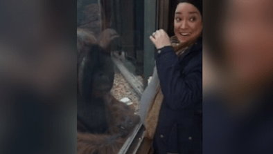 Orangutan Kisses Pregnant Woman's Belly