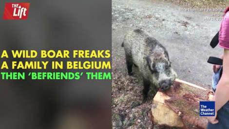Pet wild boar