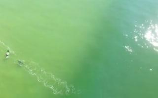 Drone captures moment great white shark stalks surfer