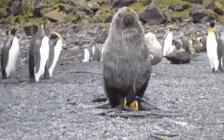 Why are seals having sex with penguins?