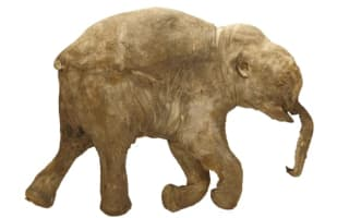 World's most complete mammoth to be shown at Natural History Museum