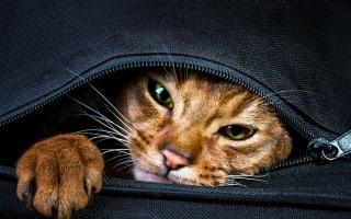 Woman tries to sneak live cat through customs in handbag