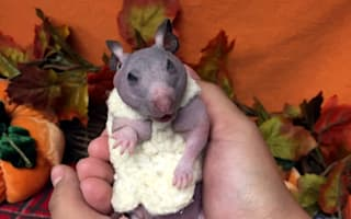 Hairless hamster gets tiny jumper to help her survive winter
