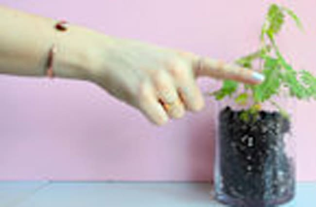 The Mimosa Plant Doesn't Like to Be Touched