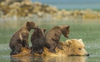 Grizzly bear cubs hitch a ride on mum's back in beautiful pictures
