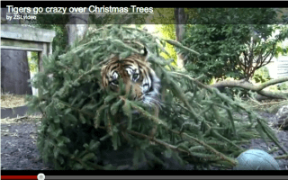 Video of the day: Tigers go crazy for recycled Christmas trees