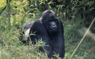 Silverback gorilla charges tourists in Rwanda