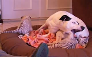 Dog helps to bring up abandoned tiger cubs
