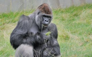 Gorilla aged 27 dies at Longleat Safari Park