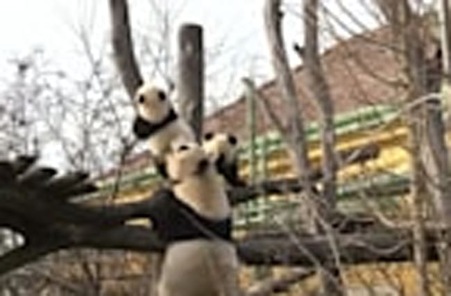 Vienna zoo panda twins venture outside
