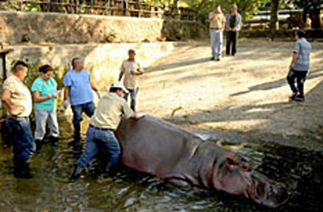 Zoo's popular hippo is beaten to death by thugs