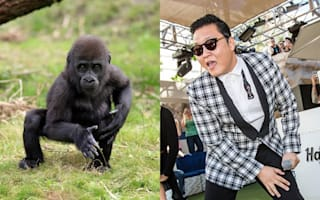 Gangnam Style gorilla! Youngster shows off funky moves