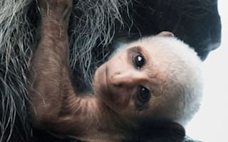 Rare colobus monkey born at Paignton Zoo