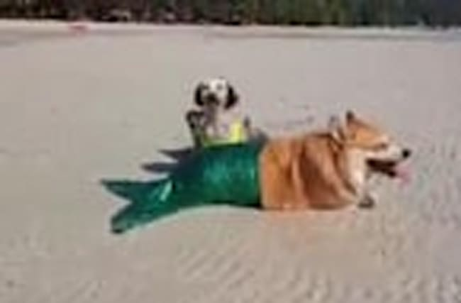 Dog models mermaid costume at the beach