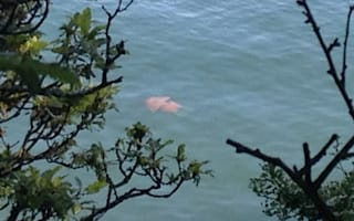 Giant jellyfish spotted in Cornwall river (picture)