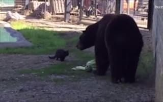 Big black bear and tiny cat become best friends forever