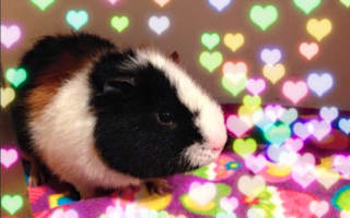 The woman who went full-time making YouTube videos of her guinea pigs