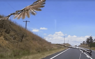 Hawk drops snake on car's windscreen