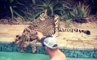 Man pets cheetah drinking from hotel swimming pool (video)