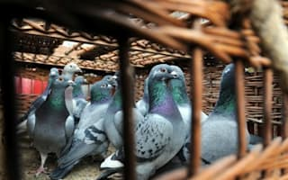 Pigeon called Bolt fetches record price