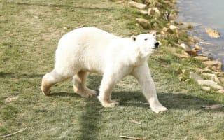 Polar bear gives refugees a shock in Calais