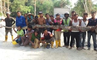 This python may be world's longest