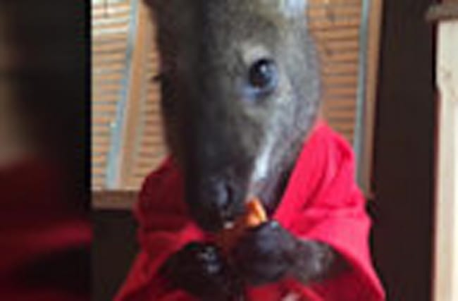 Jack the Wallaby: Professional Cutie