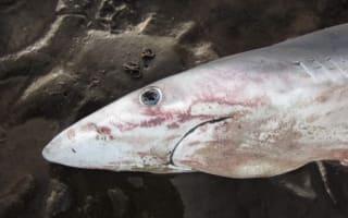 Blue shark washes up on Scotland beach