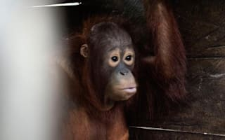 Orangutan freed after being kept in box for two years
