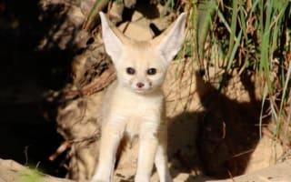 Rare baby fox born in Taronga Zoo is all ears