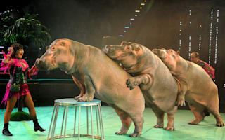 """Distressed"" hippos forced to perform conga in Eastern European circus"