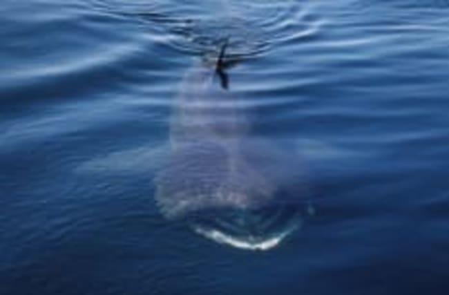 Insane footage of 30 basking sharks off Scotland coast